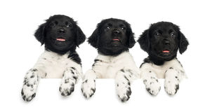 Three Stabyhoun puppies leaning on a white board, Royalty Free Stock Photography