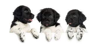 Three Stabyhoun puppies, panting and leaning on a white board Stock Images