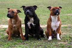 Three staffordshire. Three purebred staffordshire bull terrier sitting in grass Stock Photo