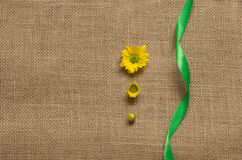 Three stages of flowering daisies - camomiles. on the burlap Royalty Free Stock Photos