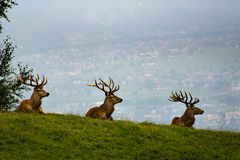 Three stags Stock Images