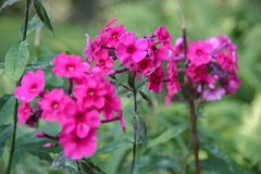 Three stalks and many small flowers of fuchsia color. royalty free stock photography
