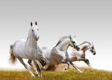 Three stallions Royalty Free Stock Photos