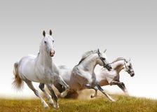 Three stallions Royalty Free Stock Photos