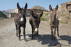 Three standing burros stock image