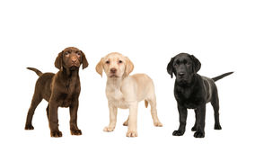 Three standing labrador puppy dogs in the official colors, brown, black and blond Stock Photos
