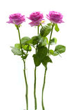 Three standing pink roses Stock Image