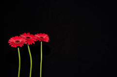 Three standing red flowers Royalty Free Stock Photography