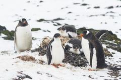 Three standing and two lying Gentoo Penguins Royalty Free Stock Photography