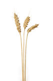 Three stands of wheat Royalty Free Stock Images