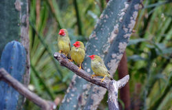 Three Star finches Stock Photography