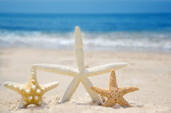Three Starfishes on a beach. Three Starfishes on a sandy beach by the ocean Stock Images