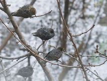 Three Starling sitting on a tree branch Stock Image
