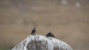 Three Starlings on Rock. Three young starlings, Sturnus vulgaris, are perching on rock, and then fly away with others stock video footage