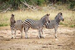 Three starring Zebras. Stock Photo