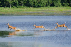 Three Startled Deer Running Through the Water Stock Image