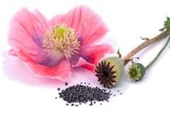 Three states of the plant poppy stock images