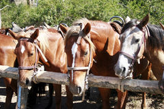 Three staying brown horses tied up. During sunny day Royalty Free Stock Images
