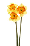 Three stems of orange and yellow daffodils Royalty Free Stock Photo