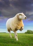 The three step sheep Stock Photos