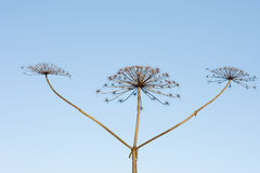 Three sticks of dry hogweed with crowns on backgro. Und of sky Royalty Free Stock Image