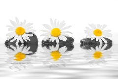 Three stones with daisies on the water Stock Image