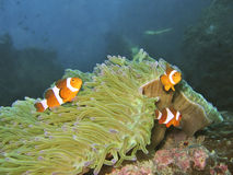 Three Stooges. Three clownfish. Biggest one is the only female and leader Stock Image