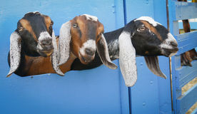 Three goats. The Three stooges, Curly, Larry and Moe...Three goats sticking their heads out of a corral royalty free stock image