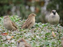 Three House Sparrows (Passer domesticus) Royalty Free Stock Photo