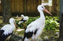 Three stork walking in the park outdoors Royalty Free Stock Image