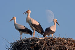 Three storks on the nest against Moon Royalty Free Stock Photo