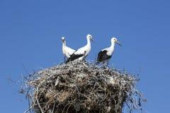 Three storks in nest on chimney Stock Image