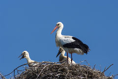 Three storks on a nest Stock Photo