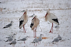 Three storks in the snow Royalty Free Stock Photos
