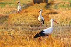 Three storks Royalty Free Stock Photos