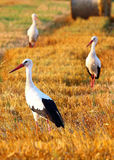 Three storks Royalty Free Stock Image