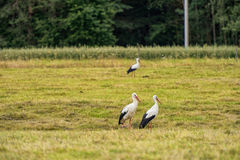 Three Storks are Walking on the grass in rural area. Three Storks are Walking on the grass in rural area Royalty Free Stock Images