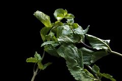 Three strands of mint crossed over on black background. stock photo