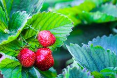Three strawberries are growing on the background of foliage royalty free stock photos