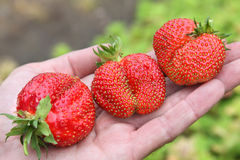 Three strawberries on hand Stock Images