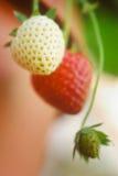 Three Strawberries Stock Photo