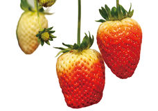 Three strawberry. Croped strawberry on the white background Royalty Free Stock Photo