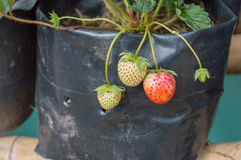 Three strawberry on the Tree In The Garden Stock Image