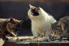 Three stray cat eat. Food Royalty Free Stock Photography