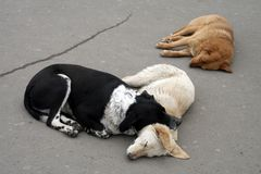 Three stray dogs sleep royalty free stock image
