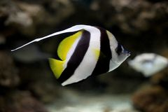 Three Stripe fish Stock Images
