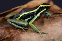 Three-striped dart frog / Ameerega trivittata Stock Image