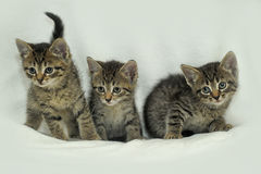 Three striped kitten. Three small striped kitten together royalty free stock photos