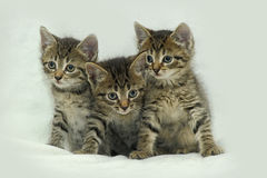 Three striped kitten. Three small striped kitten together royalty free stock photography