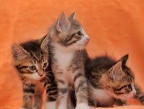 Three striped kittens Stock Photos